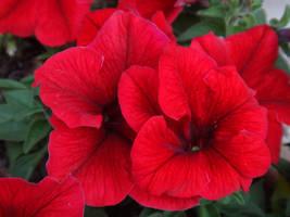 Petunia x hybrida by acory