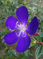 Tibouchina semidecandra by acory