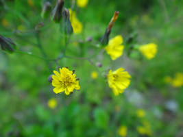 Youngia japonica by acory
