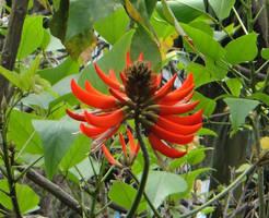 Erythrina variegata Linn. var by acory