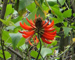 Erythrina variegata Linn. var