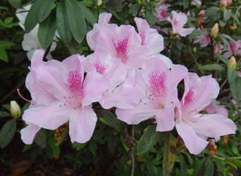 Rhododendron mucronatum cv 'Akemono' by acory