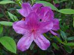 Rhododendron R. pulchrum
