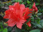 Rhododendron scabrum