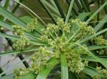 Cyperus alternifolius L.subsp.Flabelliforms