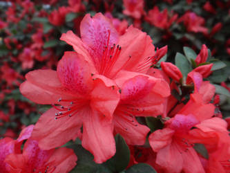 Rhododendron simsii by acory