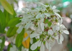 Euphorbia leucocephala by acory