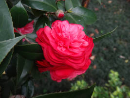 Camellia japonica by acory
