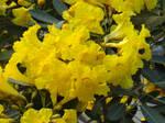 Tabebuia chrysantha (Jacq.) Nichols.