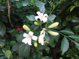 Murraya paniculata by acory