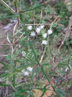 Asparagus densiflorus (Kunth) Jessop by acory