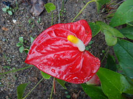 Anthurium andraeanum by acory