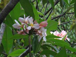 Plumeria rubra Linn. by acory