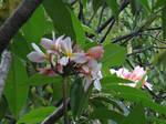 Plumeria rubra Linn.