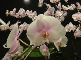 Phalaenopsis by acory