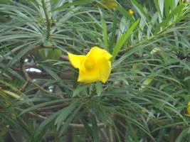 Thevetia peruviana(Pers.) Suhum. by acory