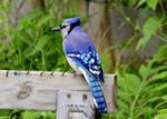 Blue Jay On Watch