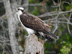 Osprey Waiting for Fish