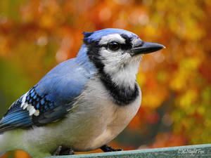 Autumn of the Blue Jay