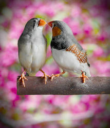 Zebra Finch Pair by CJCNightFox