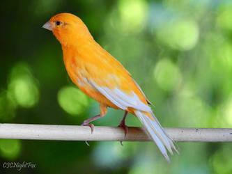 Fern the Orange Canary by CJCNightFox