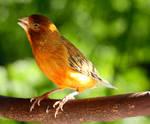 A Canary Called Fig by CJCNightFox