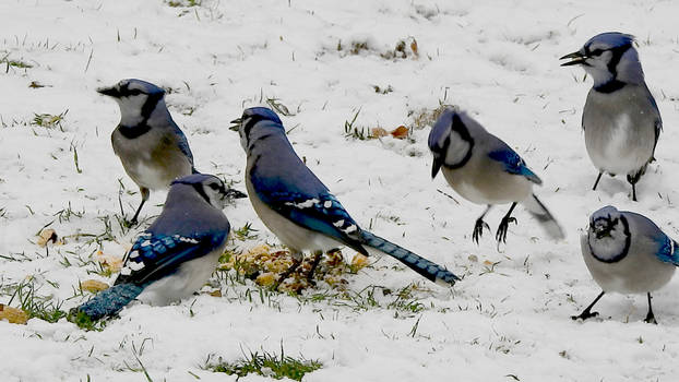 Blue Jay Party