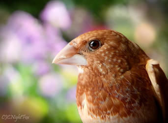Society Finch Closeup by CJCNightFox