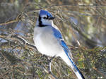 Another Blue Jay