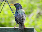 Colorful Starling