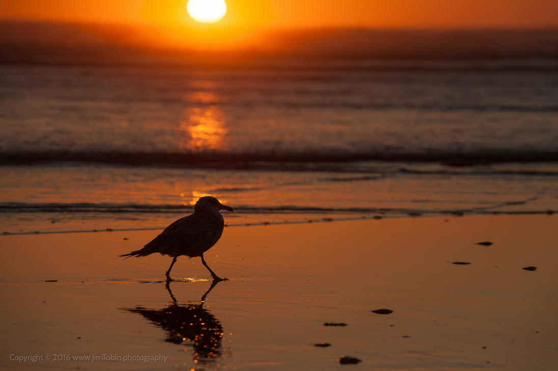 Silhouette Seagull at Sunset by jim-tobin