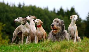 Whippets and Irish Wolfhound