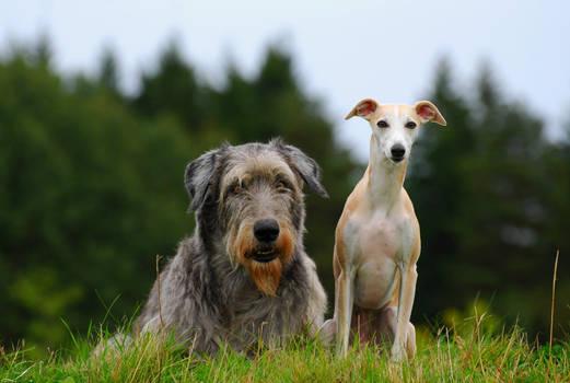 Irish wolfhound and Whippet