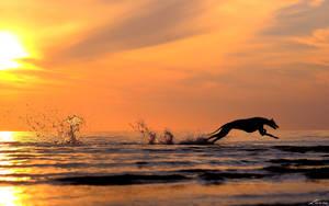Greyhound running in sunset