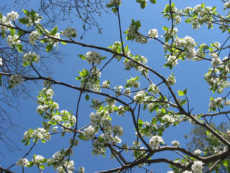 Flowered Branches Stock by moonfreak-stock