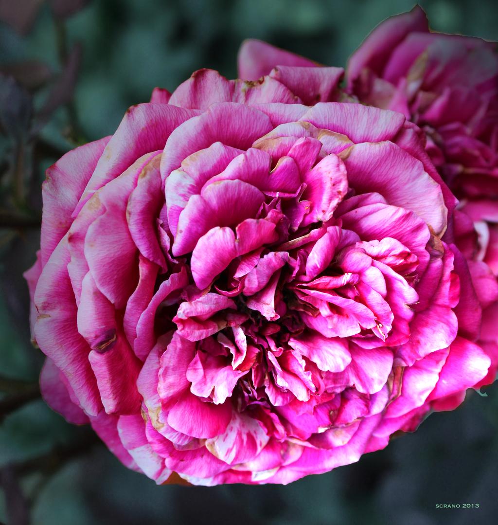 Vintage Rose by ScraNo