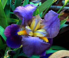 Iris2 by ScraNo