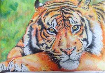 Tiger by goingforawalk