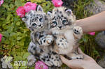 Small snow leopards