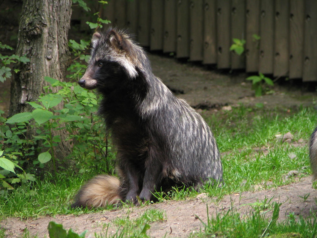 raccoon dog 01 by Pagan-Stock