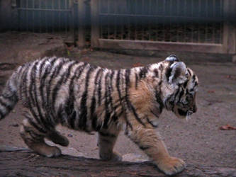 little tiger 03 by Pagan-Stock