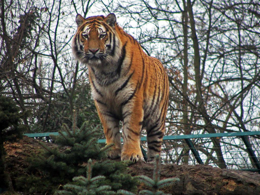 tiger 01 by Pagan-Stock