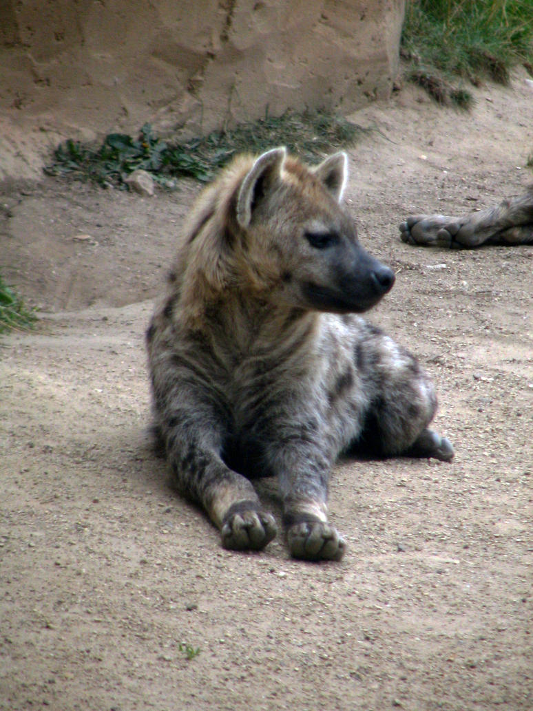 hyena 02 by Pagan-Stock