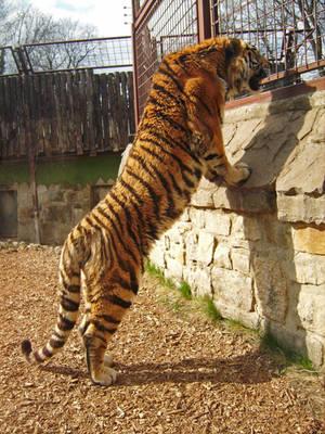 tiger 02 by Pagan-Stock