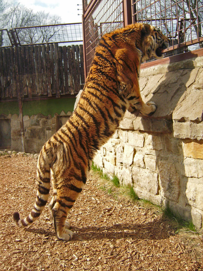 tiger 02