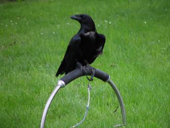 raven 01 by Pagan-Stock