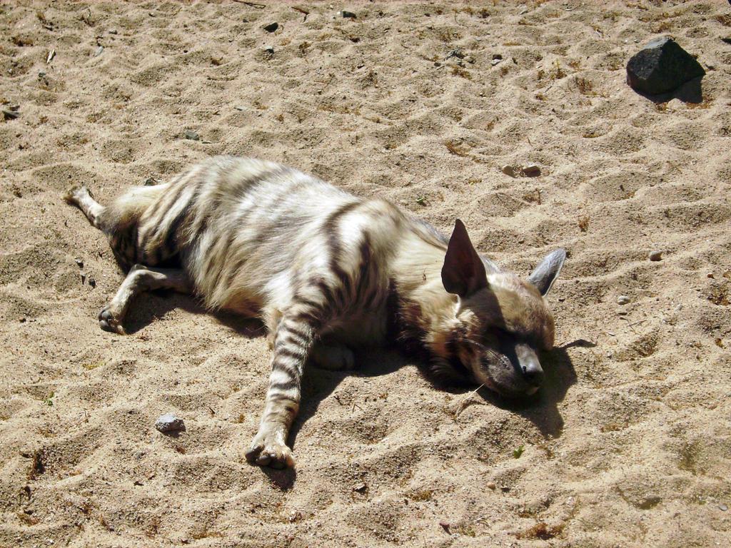 hyena 05 by Pagan-Stock