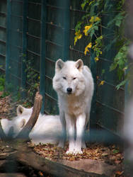 wolf 01 by Pagan-Stock