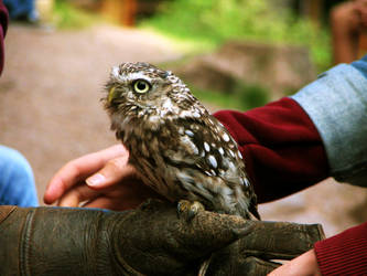 owl 01 by Pagan-Stock