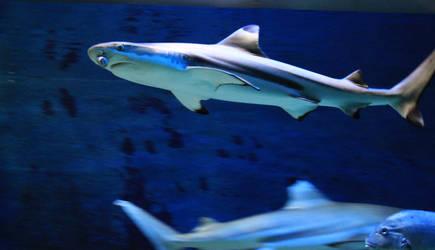 Shark 01 by Pagan-Stock